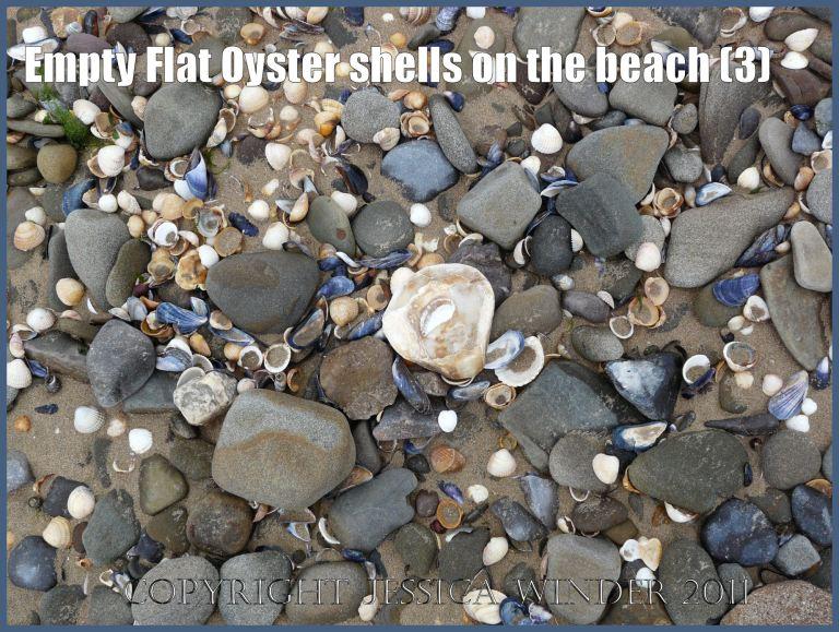 P1020463aBlog3 Empty Flat Oyster shell (Ostrea edulis Linnaeus) on the beach 3