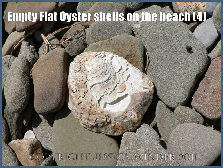 P1070115aBlog4 Empty Flat Oyster shell (Ostrea edulis Linnaeus) on the beach 4