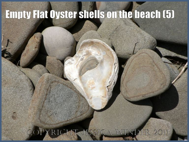 P1070118aBlog5 Empty Flat Oyster shell (Ostrea edulis Linnaeus) on the beach 5