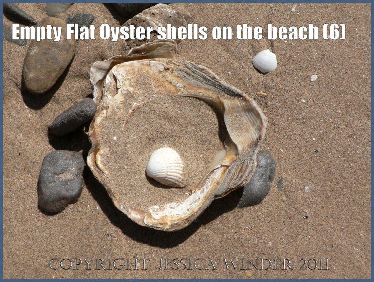 P1070128aBlog6 Empty Flat Oyster shell (Ostrea edulis Linnaeus) on the beach 6