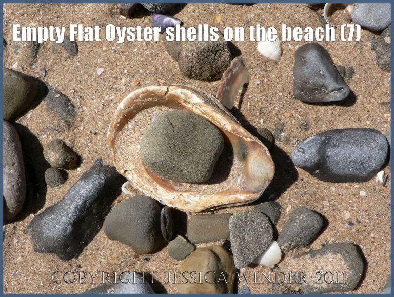 P1070129aBlog7 Empty Flat Oyster shell (Ostrea edulis Linnaeus) on the beach 7