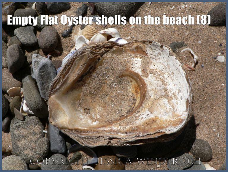 P1070130aBlog8 Empty Flat Oyster shell (Ostrea edulis Linnaeus) on the beach 8