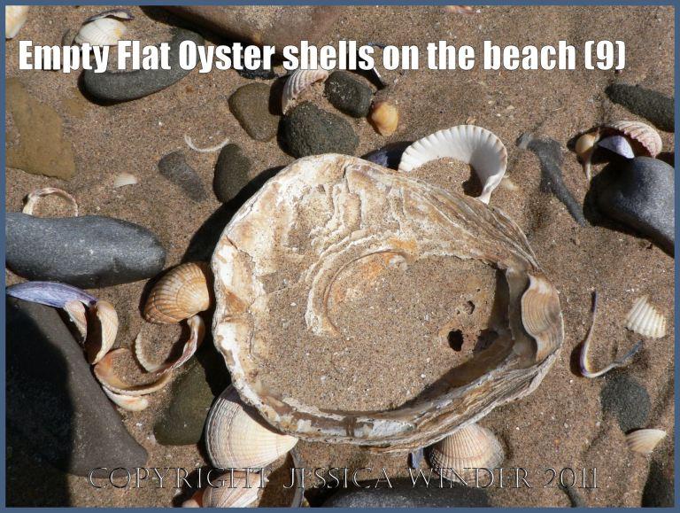 P1070131aBlog9 Empty Flat Oyster shell (Ostrea edulis Linnaeus) on the beach 9