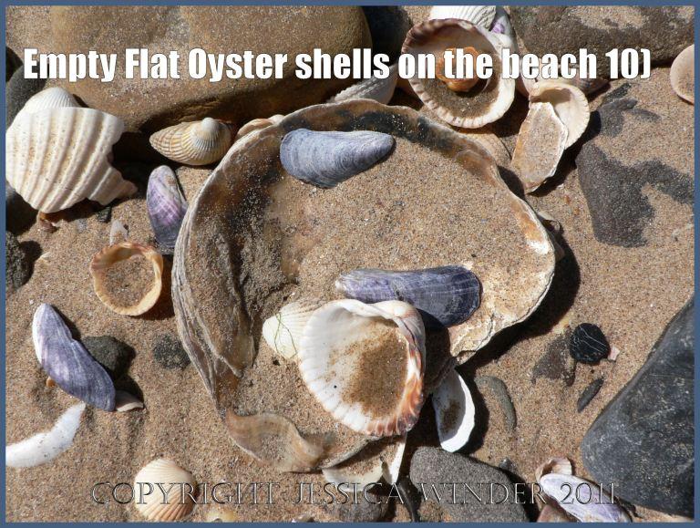 P1070133aBlog10 Empty Flat Oyster shell (Ostrea edulis Linnaeus) on the beach 10