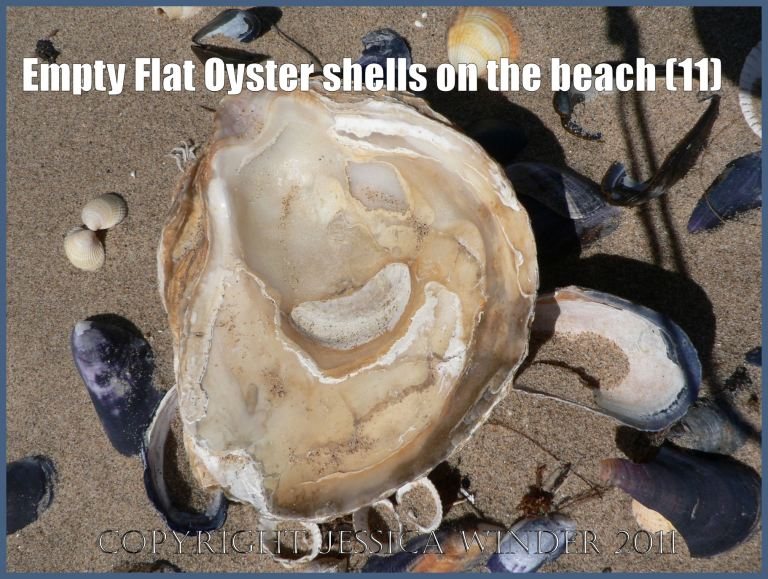 P1070152aBlog11 Empty Flat Oyster shell (Ostrea edulis Linnaeus) on the beach 11