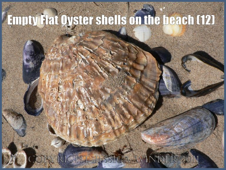 P1070153aBlog12 Empty Flat Oyster shell (Ostrea edulis Linnaeus) on the beach 12