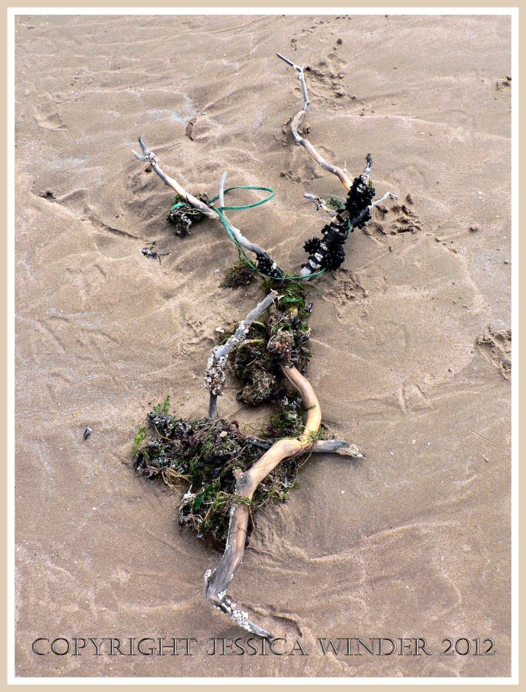 Driftwood washed ashore onto the sand at Rhossili Bay with bunches of black cuttlefish eggs, seaweed, and twine attached, Gower, South Wales.