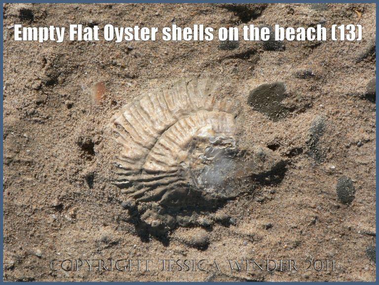 P1070632aBlog13 Empty Flat Oyster shell (Ostrea edulis Linnaeus) on the beach 13
