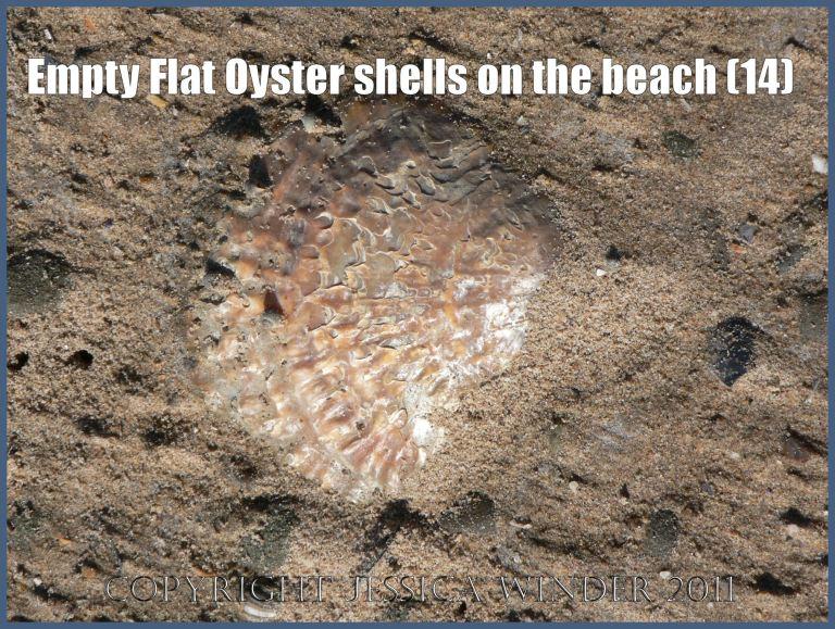 P1070633aBlog14 Empty Flat Oyster shell (Ostrea edulis Linnaeus) on the beach 14
