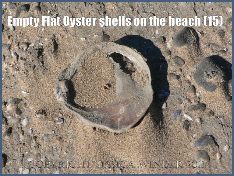 P1070641aBlog15 Empty Flat Oyster shell (Ostrea edulis Linnaeus) on the beach 15