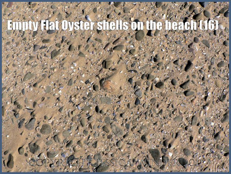 P1070649aBlog16 Empty Flat Oyster shell (Ostrea edulis Linnaeus) on the beach 16