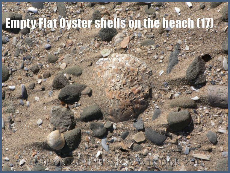 P1070650aBlog17 Empty Flat Oyster shell (Ostrea edulis Linnaeus) on the beach 17