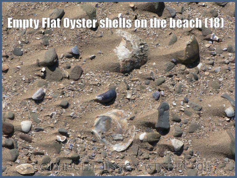 P1070652aBlog18 Empty Flat Oyster shell (Ostrea edulis Linnaeus) on the beach 18