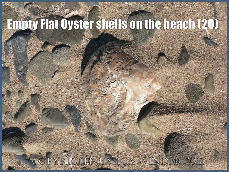 P1070654aBlog20 Empty Flat Oyster shell (Ostrea edulis Linnaeus) on the beach 20