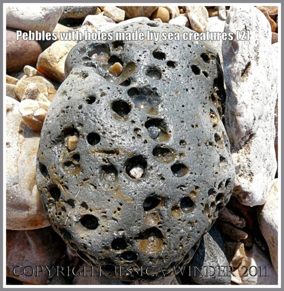 Pebble with holes: Cobble-size stone with large bore holes made by bivalved molluscs called piddocks on the beach at Charmouth, Dorset, UK - part of the Jurassic Coast (2)