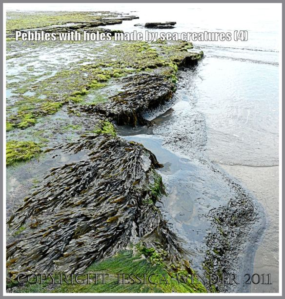 Rock with holes made by bivalve molluscs: A seaweed covered platform of Blue Lias shale with piddock borings visible along the water's edge at Charmouth, Dorset, UK - part of the Jurassic Coast (4)