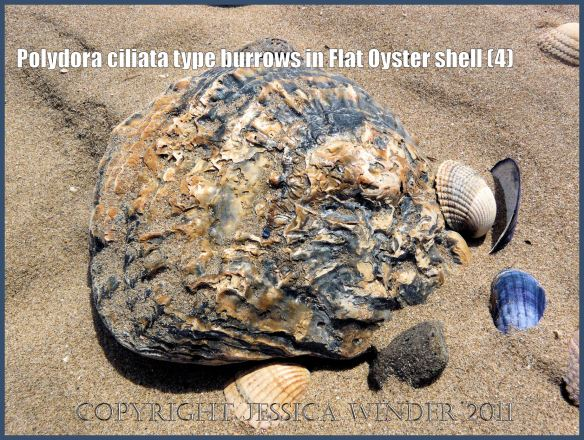 P1140002aBlog4 Large, thick, old, and stained Flat Oyster shell with moderate marine worm damage - as first seen on Whiteford Sands, Gower, South Wales (4)