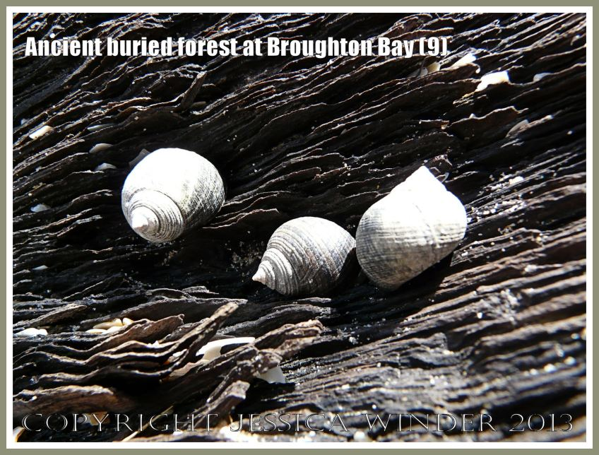 Ancient buried forest at Broughton Bay (9) - Common winkles grazing on the remains of a tree from an ancient submerged forest eroding out of the beach at Broughton Bay, Gower, South Wales.