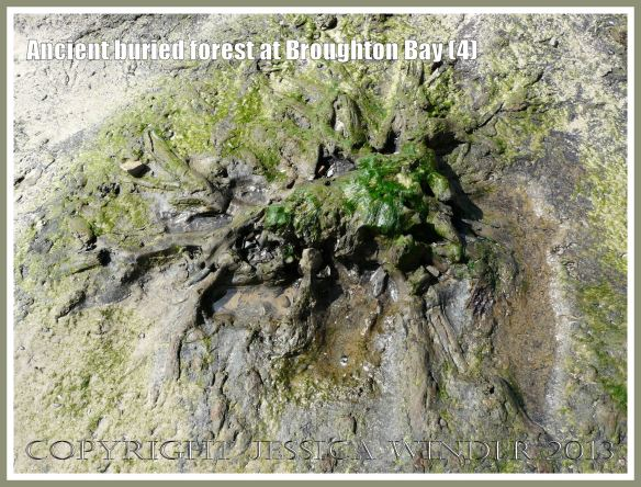 Ancient buried forest at Broughton Bay (4) - Remains of a tree (in clay) from an ancient submerged forest eroding out of the beach at Broughton Bay, Gower, South Wales. The stump of the tree trunk and the radiating roots indicate that the tree is still in situ as it was growing around 10,000 years ago.