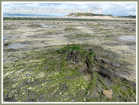 Ancient buried forest at Broughton Bay (1) - Remains of trees from an ancient submerged forest eroding out of the beach at Broughton Bay, Gower, South Wales.