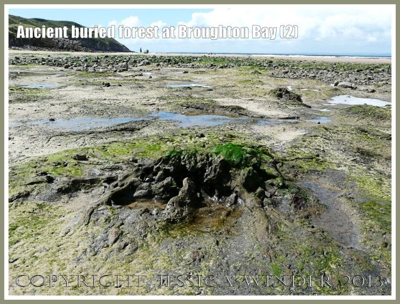 ncient buried forest at Broughton Bay (2) - Remains of a tree (in clay) from an ancient submerged forest eroding out of the beach at Broughton Bay, Gower, South Wales. The stump of the tree trunk and the radiating roots indicate that the tree is still in situ as it was growing around 10,000 years ago.