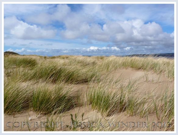 Marram Grass at Whiteford (4) - Marram Grass colonising new wind-blown sand on the dunes at Whiteford National Nature Reserve, Gower, South Wales.