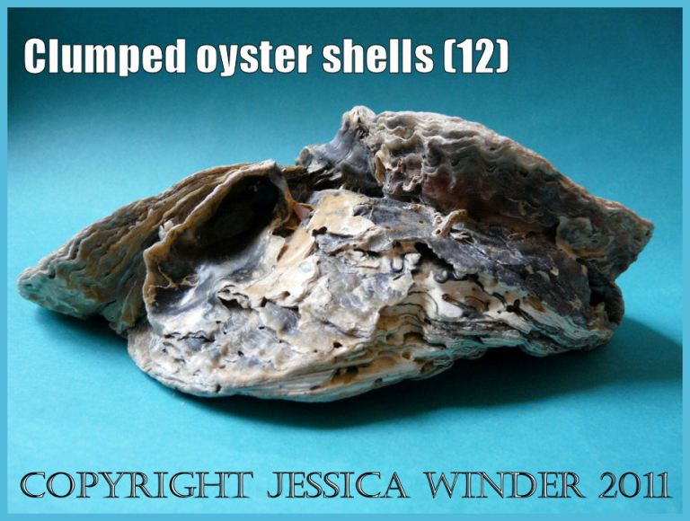P1150215aBlog12 Naturally occurring clump of five attached European Flat Oyster shells, View 5