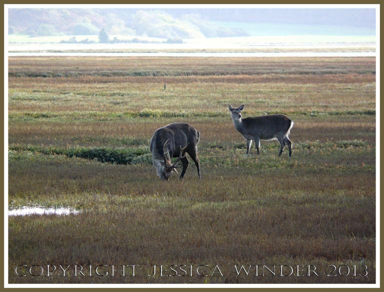 Sika Deer on salt marsh at Arne, Dorset, UK