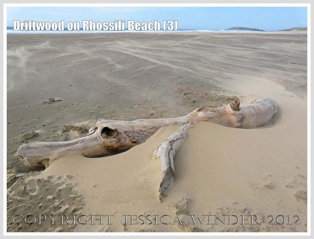 Driftwood on Rhossili Beach (3) - Driftwood looking like a stranded monster washed ashore at Rhossili Bay, Gower, South Wales, with the Burry Holms in the background.