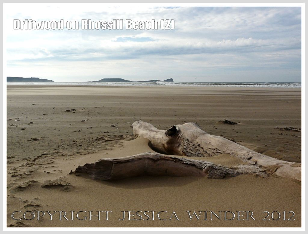 Driftwood on Rhossili Beach (2) - Driftwood tree trunk, half buried in the sand, looking like a pre-historic monster, a Mososaur, or even a crocodile, at Rhossili Bay, Gower, South Wales, with the Worms Head in the background.