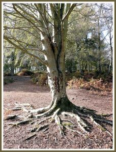 Tree with scratch marks made by Sika Deer when they try to remove the 'velvet' from their antlers. Arne, Dorset, UK.