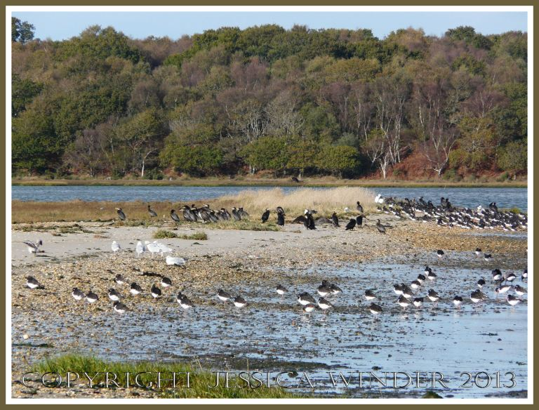 Resting sea birds on the edge of Poole Harbour at Arne, Dorset, UK.