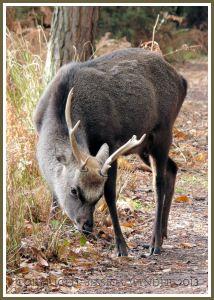 Young Buck Sika Deer at Arne, Dorset, UK.