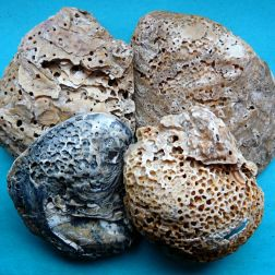 An arrangement of empty recent European Flat Oyster shells with heavy infestation damage caused by boring sponges (5)