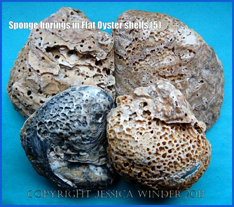 P1200230aBlog5 An arrangement of empty recent European Flat Oyster shells (Ostrea edulis Linnaeus) with heavy infestation damage caused by boring sponges (5)
