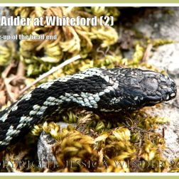 An Adder at Whiteford (2)
