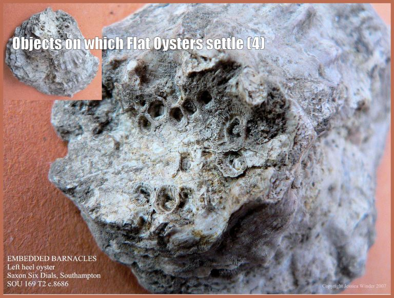 P1090363bBarnaclesBlog4 Archaeological specimen of European Flat Oyster shell (Ostrea edulis Linnaeus) that has incorporated into the heel of the left valve the impression of the rock and the actual acorn barnacle shells on which the free-swimming oyster larva originally settled and attached (4)