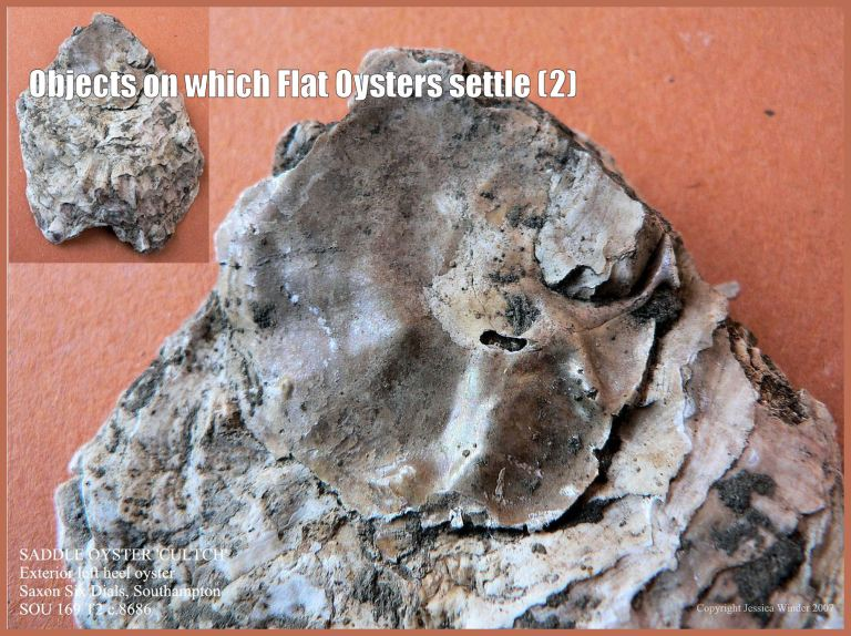 P1090363bSaddleOysterBlog2 Archaeological specimen of European Flat Oyster shell (Ostrea edulis Linnaeus) still cemented to the Saddle Oyster shell (Anomia ephippium Linnaeus) on which the free-swimming oyster larva originally settled and attached (2)