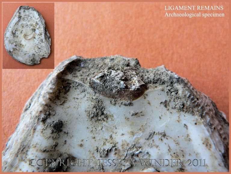 P1090229Blog6 Remains of the ligament preserved in an archaeological specimen of European Flat Oyster, Ostrea edulis L., dating from the 9th Century AD (6)
