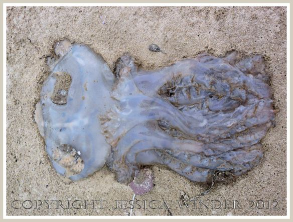 Dead & decomposing jellyfish 2 - Decomposing barrel-mouthed jellyfish on the sandy strandline.
