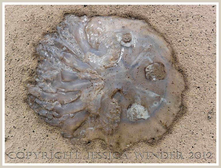Dead & decomposing jellyfish 4 - Deliquescing Rhizostoma octopus jellyfish on the sandy strandline.