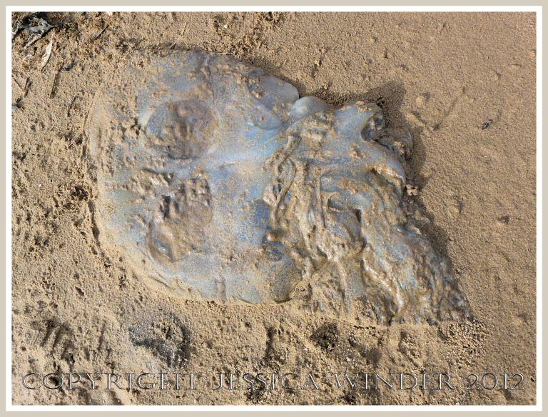 Dead & decomposing jellyfish 6 - Sand-covered dead Rhizostoma octopus jellyfish on a sandy Gower beach.