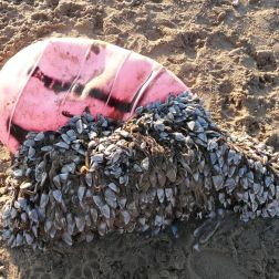 Faded red plastic fishing buoy, with attached goose barnacles, washed ashore as flotsam onto the sandy beach (11)