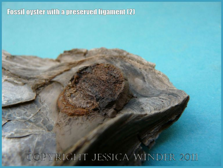 P1220198aBlog2 Preserved ligament in situ on interior surface of the right valve of a Jurassic fossil oyster, Liostrea (Deltoideum) delta, from Ringstead Bay, Dorset, UK on the Jurassic Coast World Heritage Site (2)