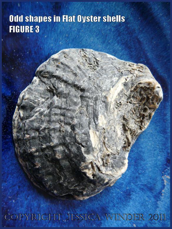 P1030420Blog3 Irregular shaped European Flat Oyster or British Native Oyster shell (Ostrea edulis Linnaeus) Figure 3 External surface view 1