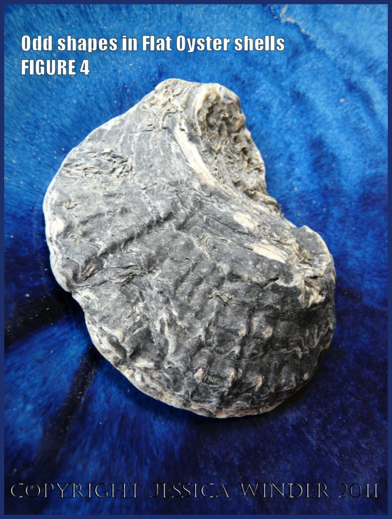 P1030424Blog4 Irregular shaped European Flat Oyster or British Native Oyster shell (Ostrea edulis Linnaeus) Figure 4 External surface view 2