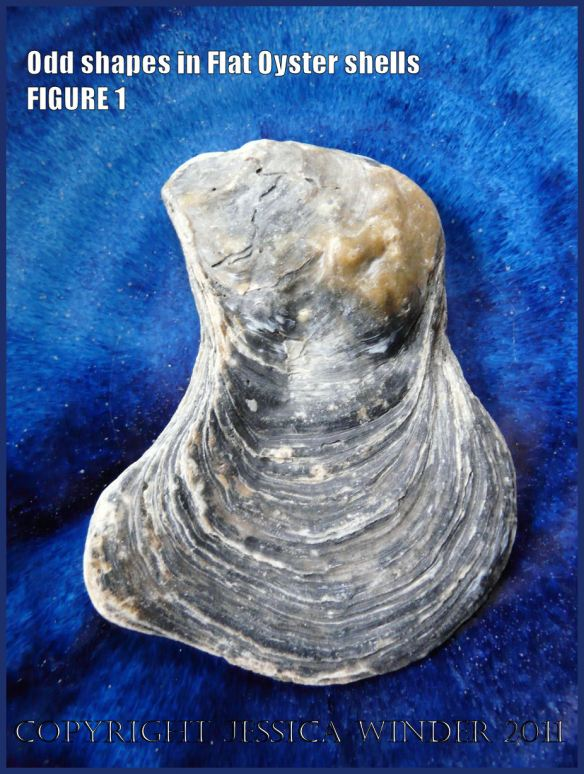 P1030425Blog1 Irregular shaped European Flat Oyster or British Native Oyster shell (Ostrea edulis Linnaeus) Figure 1