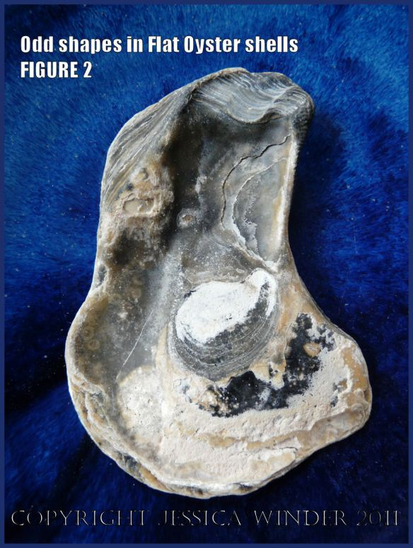 P1030427Blog2 Irregular shaped European Flat Oyster or British Native Oyster shell (Ostrea edulis Linnaeus) Figure 2 Interior view
