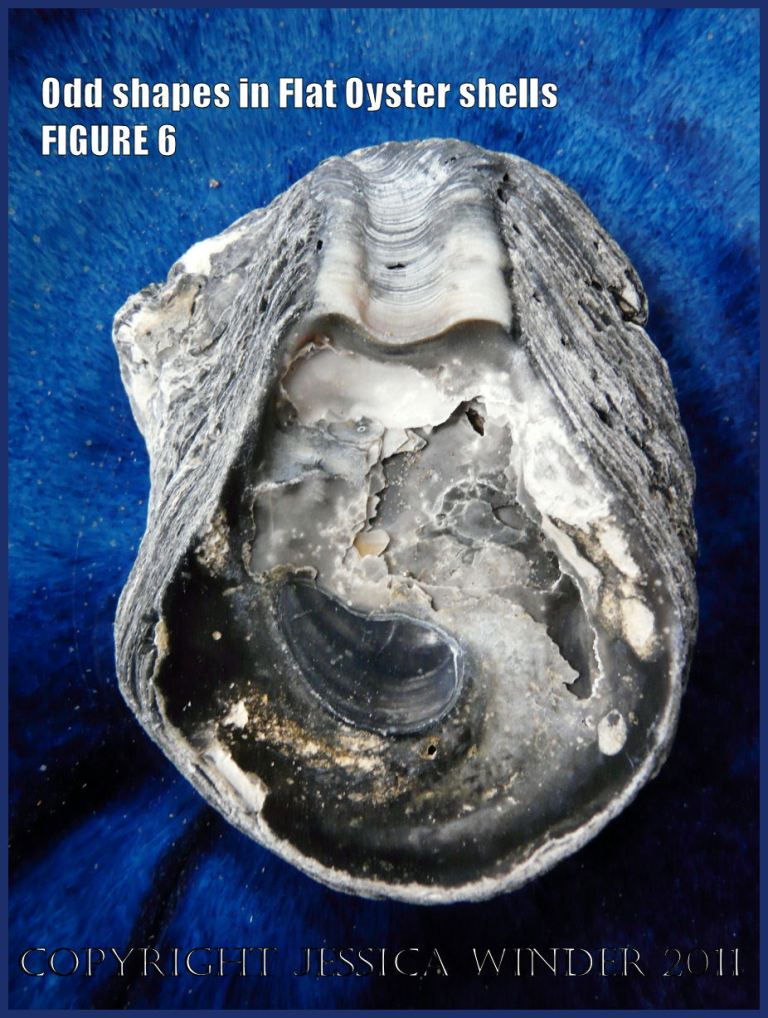 P1030431Blog6 Irregular shaped European Flat Oyster or British Native Oyster shell (Ostrea edulis Linnaeus) Figure 6 Internal surface