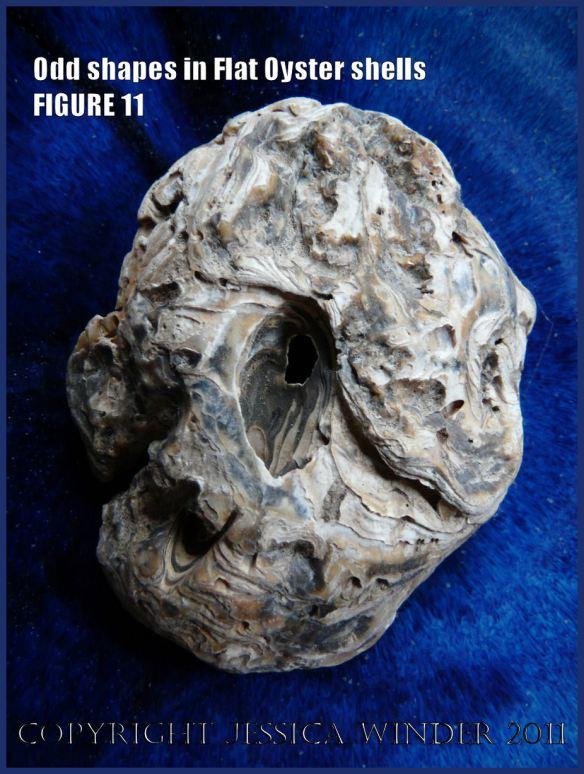 P1030437Blog11 Ireegular shape in European Flat Oyster or British Native Oyster, Ostrea edulis Linnaeus, Figure 11 external view